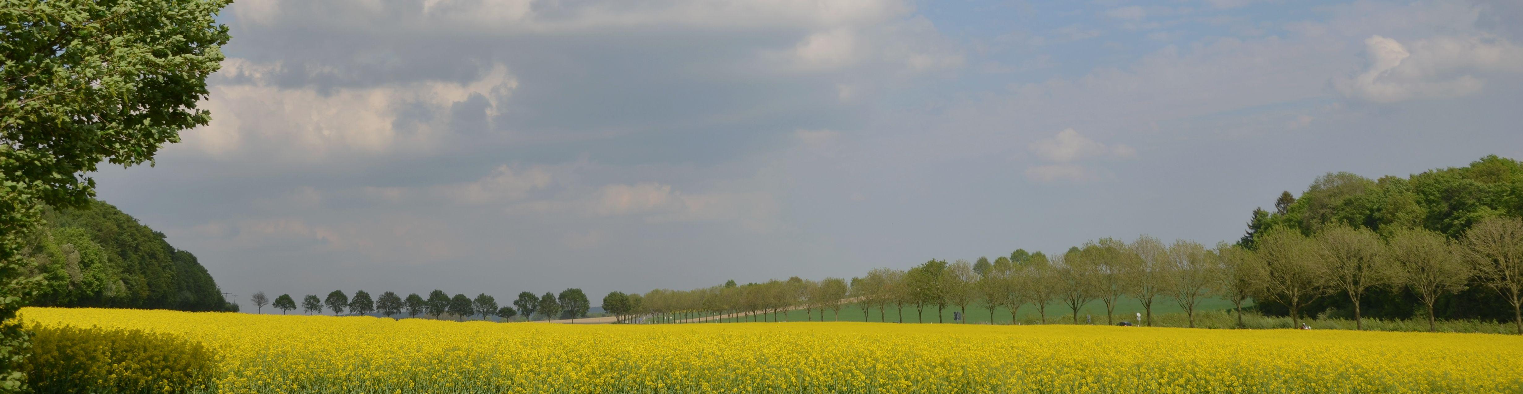 rapeseed-scenery