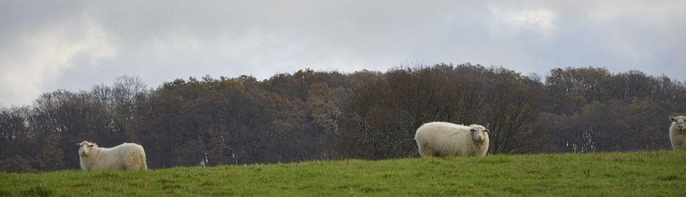 sheep-DSF1651