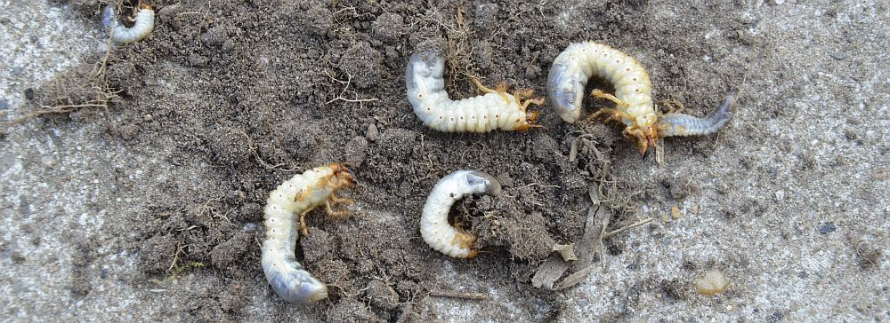 Cockchafer grubs