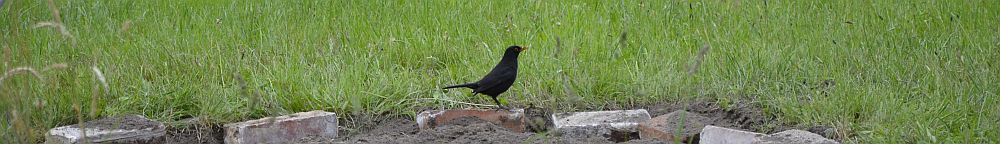 Daddy blackbird
