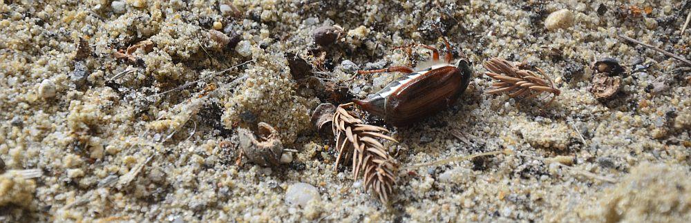 dead-beetle