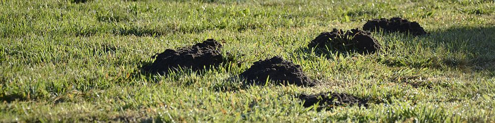 Fresh molehills