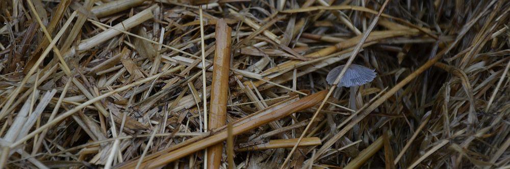 straw-compost-mushroom