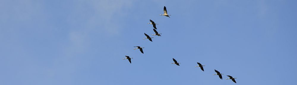 Migrating Cranes
